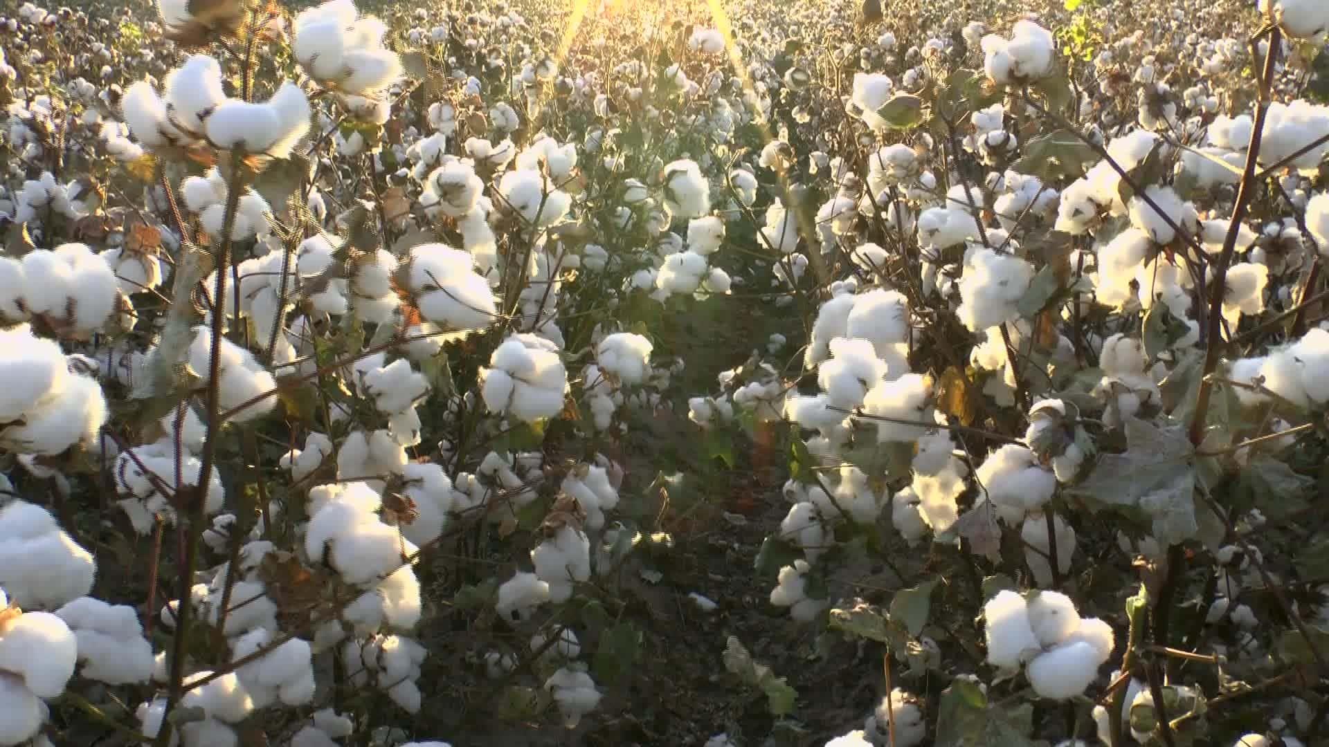 台灣有機棉花